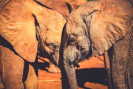 Orphaned Elephants in Kenya