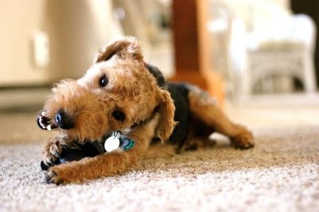 Cute dog biting toy