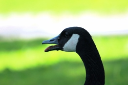 Picture of a goose, Canada Goose, Toronto