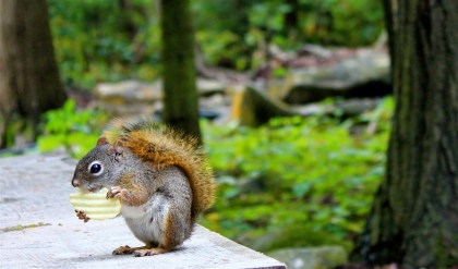 Chipmunk Eating a Chip