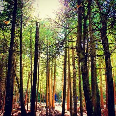 Tobermory Trees