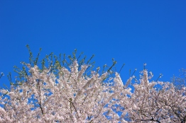 Cherry Blossoms in High Park No. 1