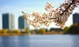 Cherry Blossoms in High Park No. 7