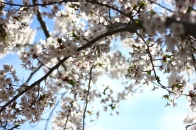 Cherry Blossoms in High Park No. 8