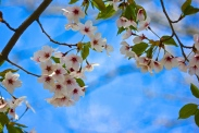 Cherry Blossoms in High Park No. 10