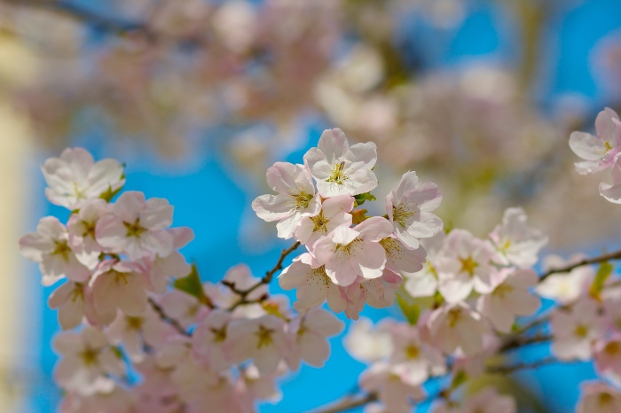 Cherry Blossoms Toronto 2014