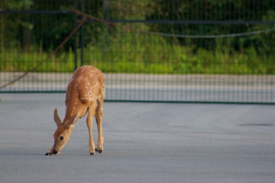 A fawn hanging out in the parking lot.