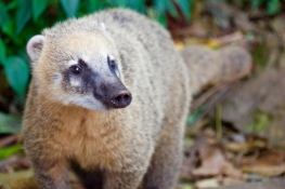 A wild racoon type of creature called a Coati.