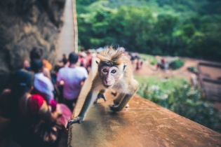 Cheeky Monkey at Lion Rock in Sri Lanka