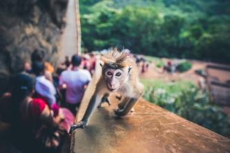 Cheeky Monkey at Lion Rock in Sri Lanka